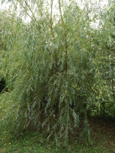 Franks Willow Tree- Bark can be used for tea and excellent anti-inflammatory