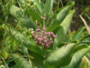 Milkweed Flower