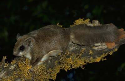 northernflyingsquirrel
