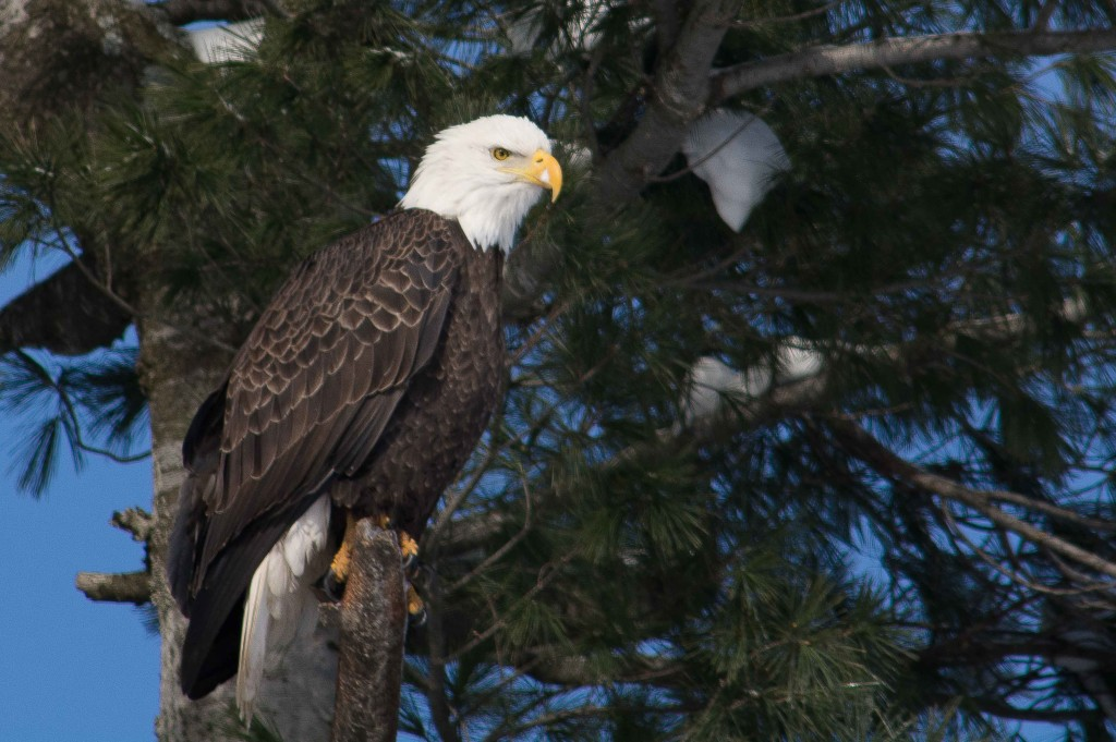 Photo by Ron Gallagher. The Bald Eagle was already assessed as a species of special concern when the Endangered Species Act took effect in 2008.