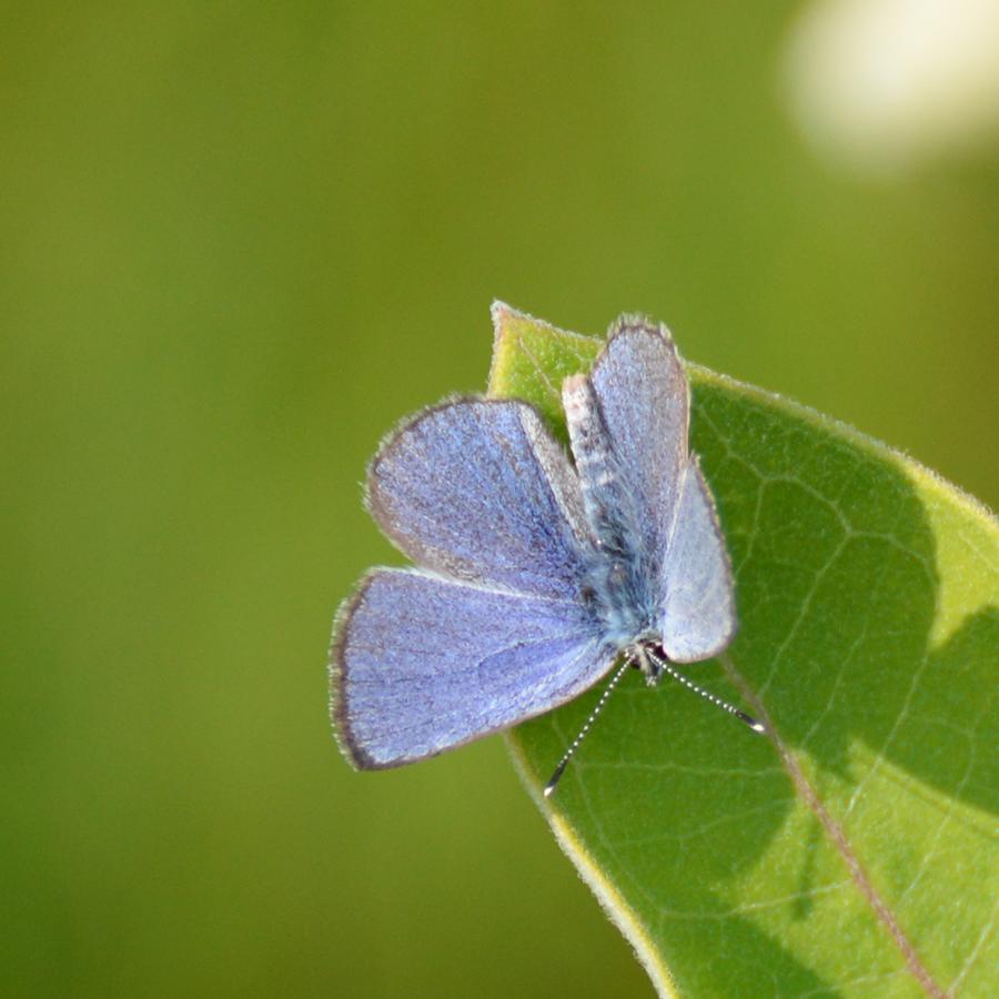 1 Silvery Blue_6969_photoMarkOlivier