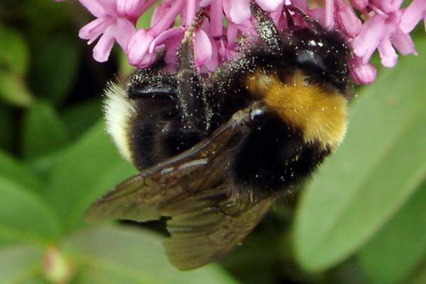 Gypsy Cuckoo Bee
