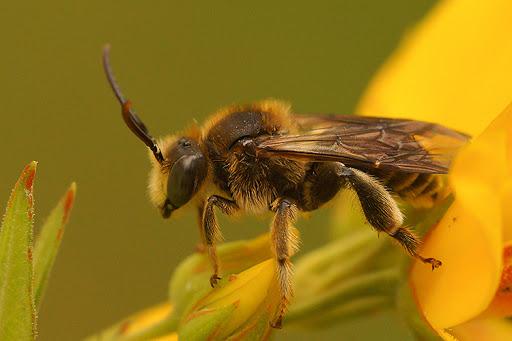 Macropis Cuckoo Bee