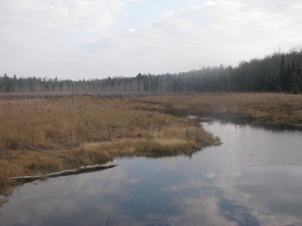 Wetland, in the background a large network of beaver dams are on display.