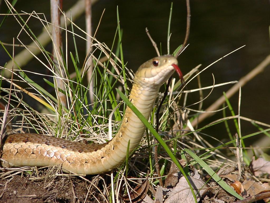 Eastern Garter Snake, by Peter Ferguson. Courtesy of Ontario Nature.
