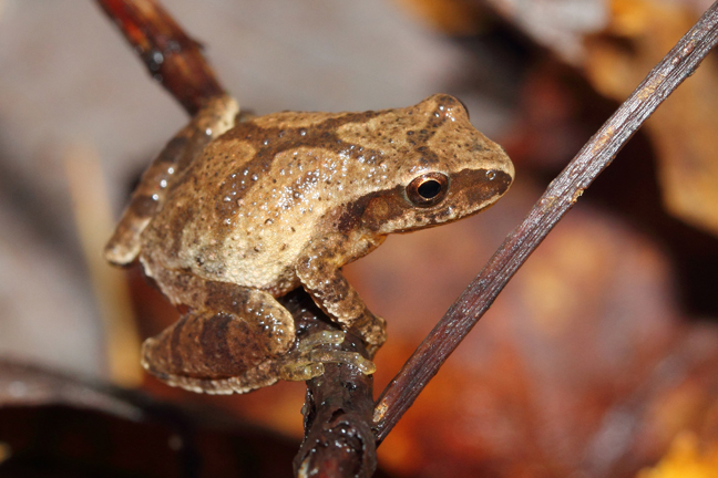 Spring Peeper, by Joe Crawley. Courtesy of Ontario Nature.