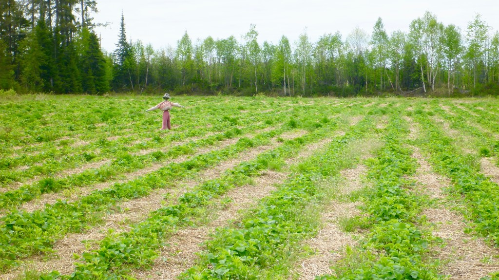 Not just about the blueberries -the farm supports a u-pick strawberry patch, about 5 acres, in addition to about half an acre each of raspberries and haskap berries.