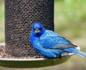 It's a Beautiful World: Indigo Buntings in Algoma